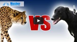 Greyhound VS Guepard
