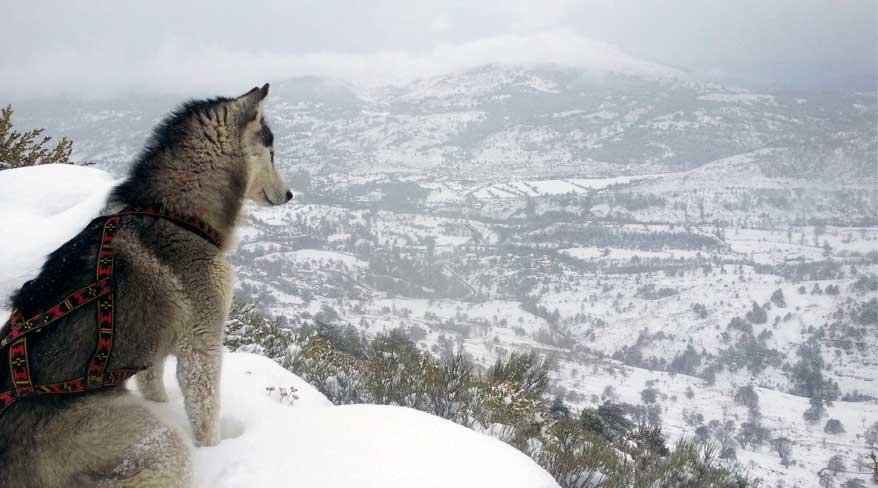 Harnais xback Manmat classique rouge sur husky sibérien