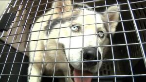 Husky en cage
