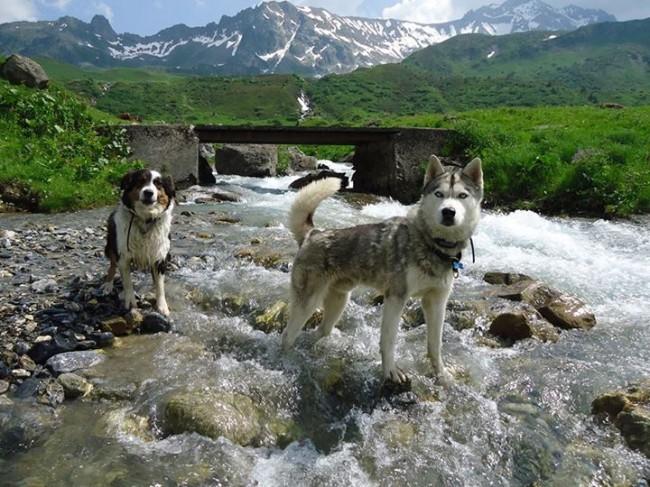 Husky de sibérie et berger australien