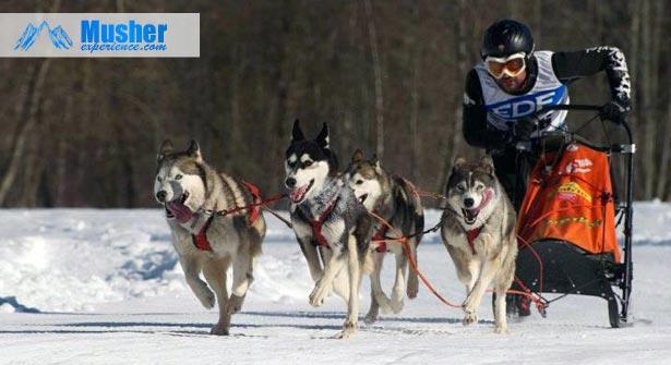Pierre Duran: chien de traineau
