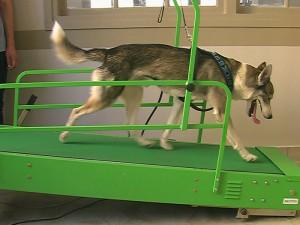 Husky sur tapis roulant sec