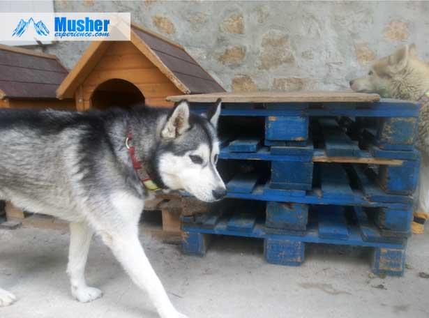 niches pour chiens sur lev es par des palettes equipement actu et conseils canicross canivtt. Black Bedroom Furniture Sets. Home Design Ideas