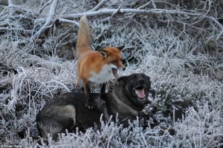 Le renard et le chien