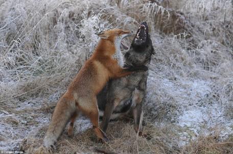 Renard et chien jouent