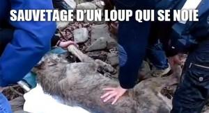 Sauvetage d'un loup qui se noie