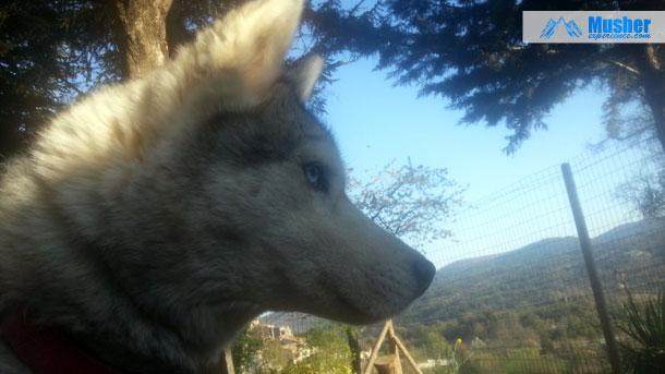 Husky sibérien aux yeux bleu