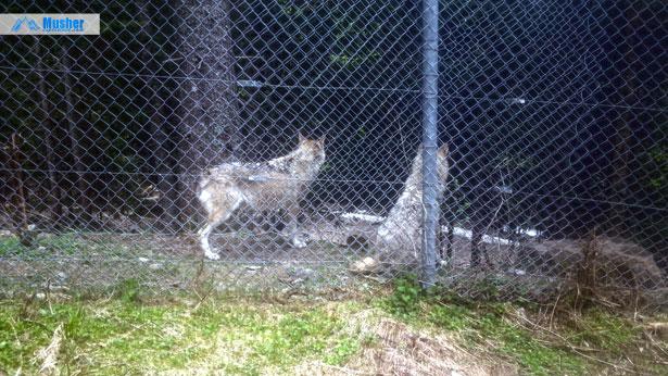 Loups au Parc Alpha