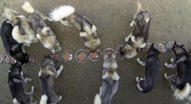 husky-siberien-eating