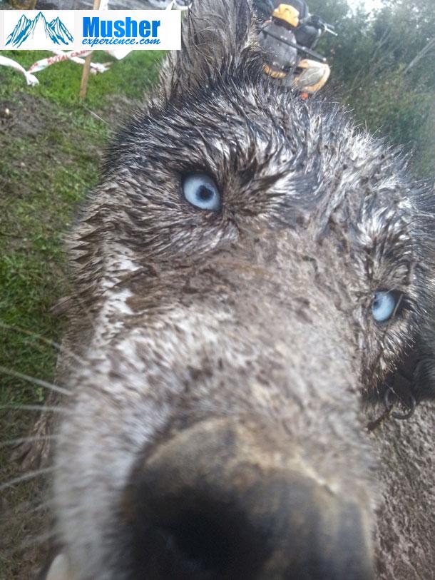 husky-yeux-bleu