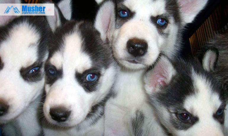 puppy-siberian-husky-blue-eyes