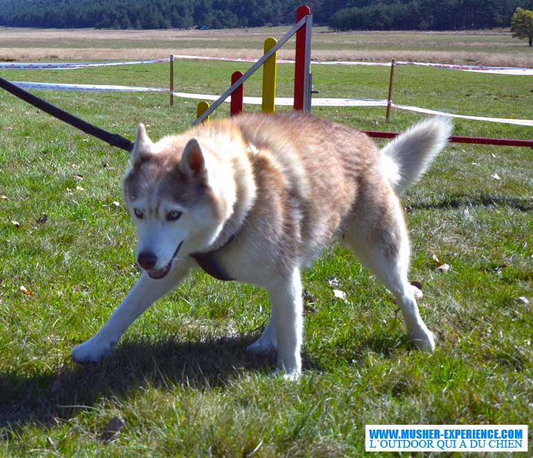 show-dog-husky