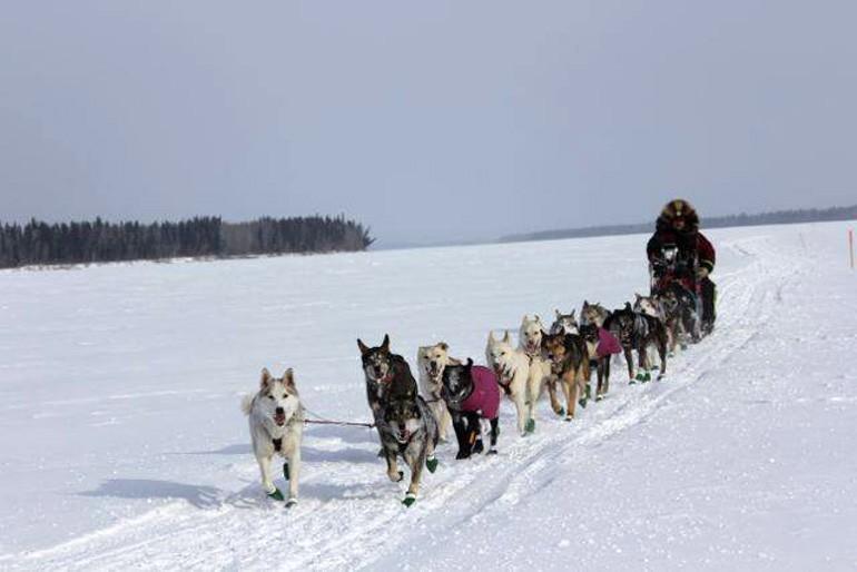 Aaron Burmeister et ses alaskans huskies