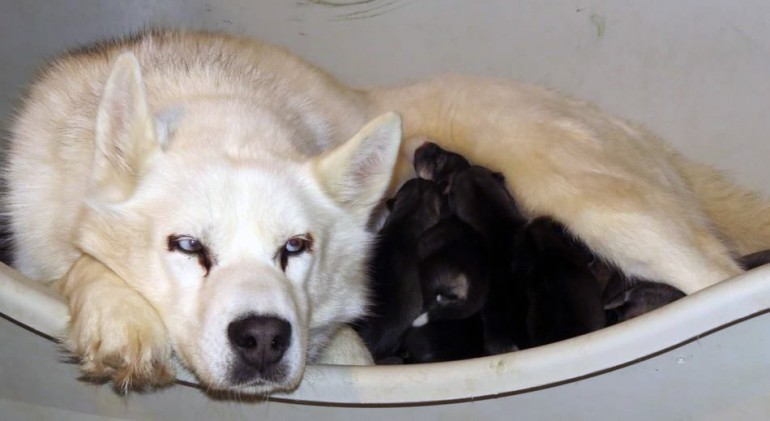 maman-husky-blanche-nourrit-chiots