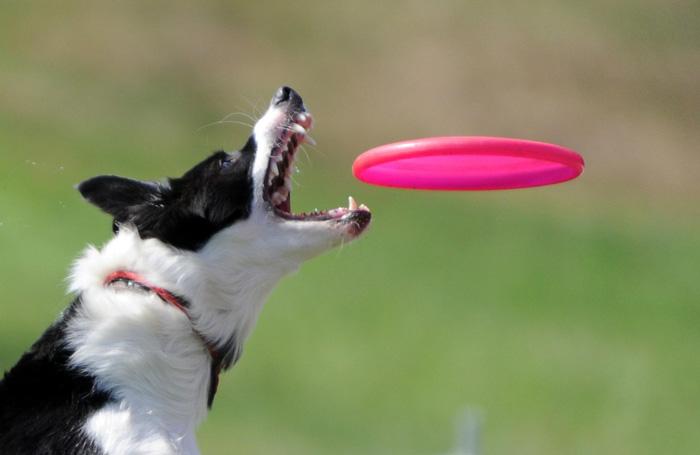 Frisbee: chien attrape en plein vol - activité canine