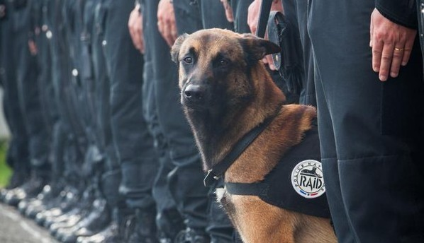 chien-policier-raid-malinoi