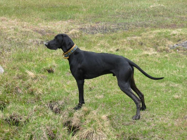 Race de chien: Greyster