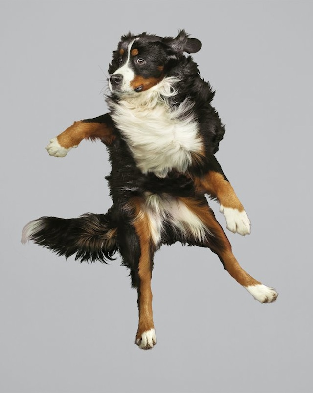 funny-jumping-dogs-series-9