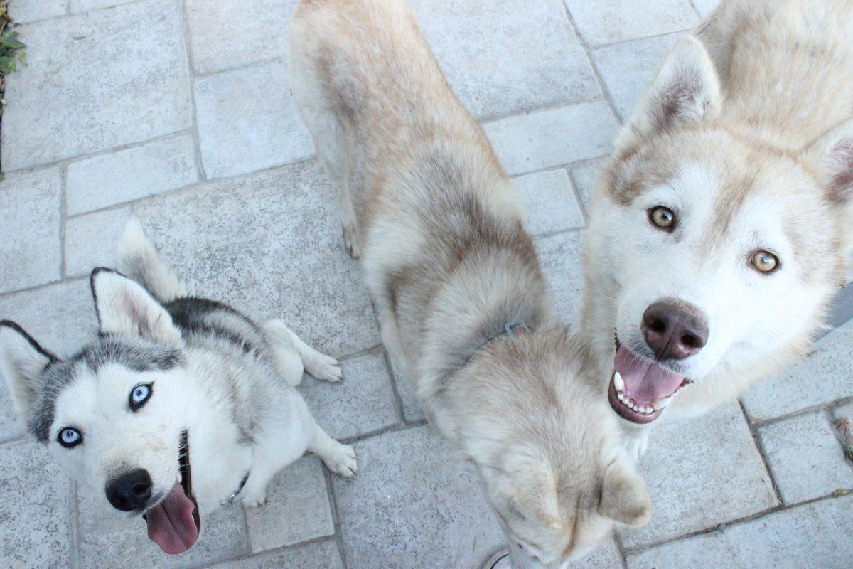 Quel poids peut tirer un husky? Quel poids peut tracter un
