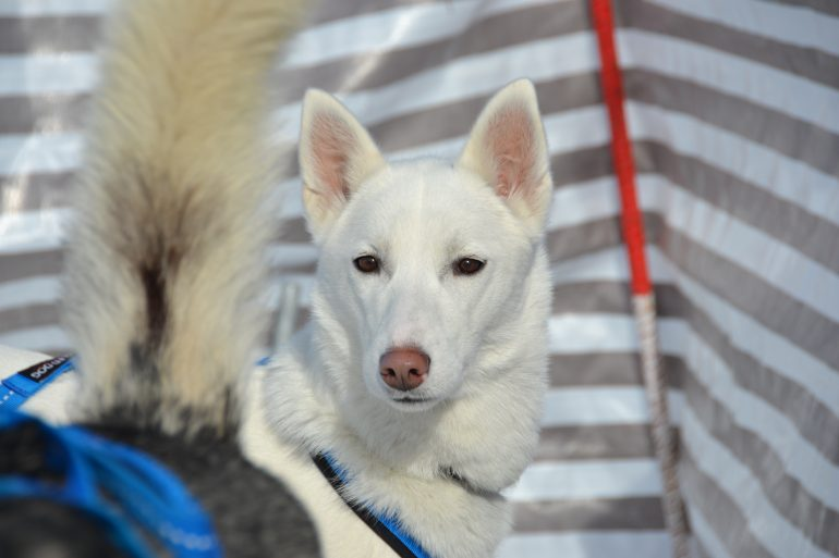 husky siberien blanc