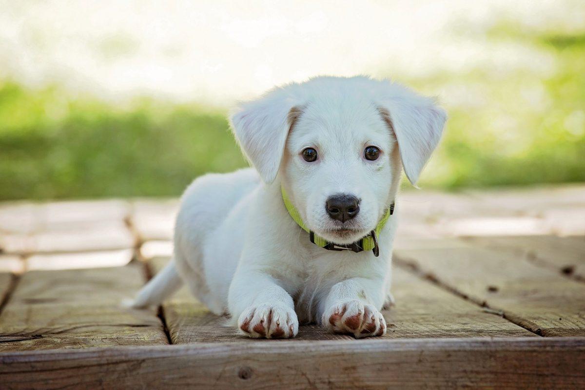 dressage chien 4 mois