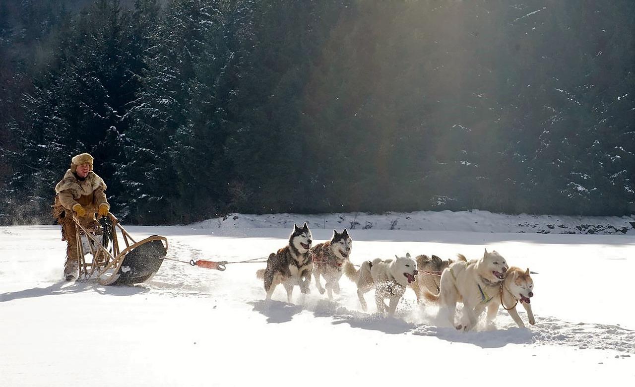 chien de traineau trappeur husky siberien