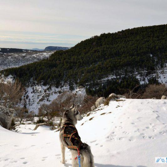 harnais xback manmat - husky sibérien