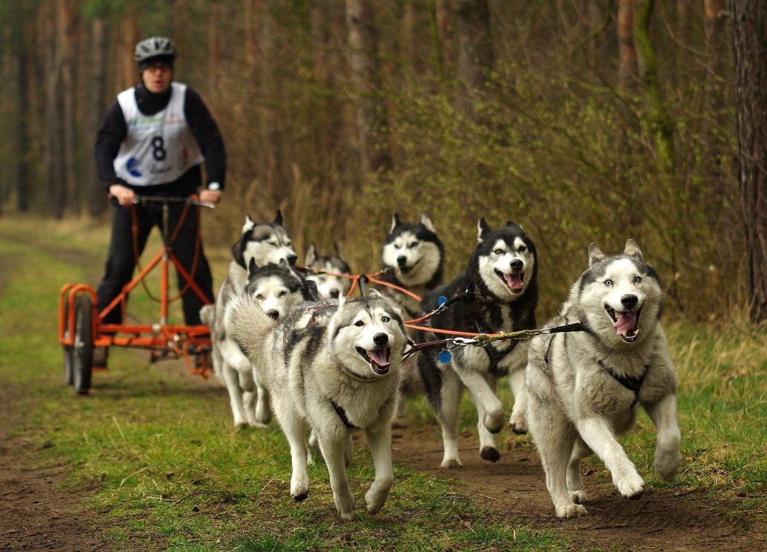 kart à chiens - attelage kart quad - husky sibérien