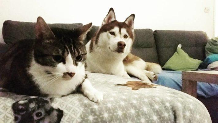 Husky et chat