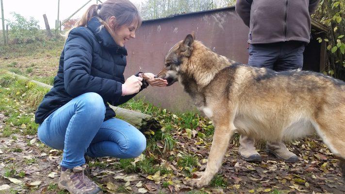 Loup - s'approcher près d'un loup