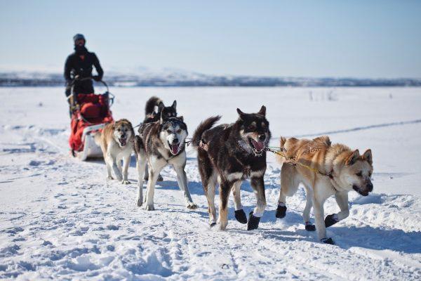 Quel poids peut tirer un husky sibérien - Quel poids peut tracter un chien