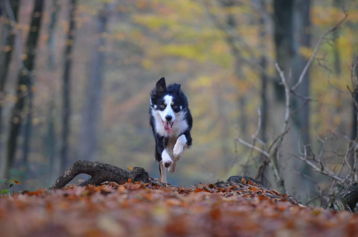 border-collie-foret-court-libre
