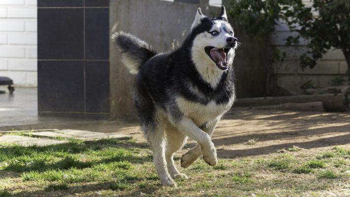 Husky sibérien: race de chien
