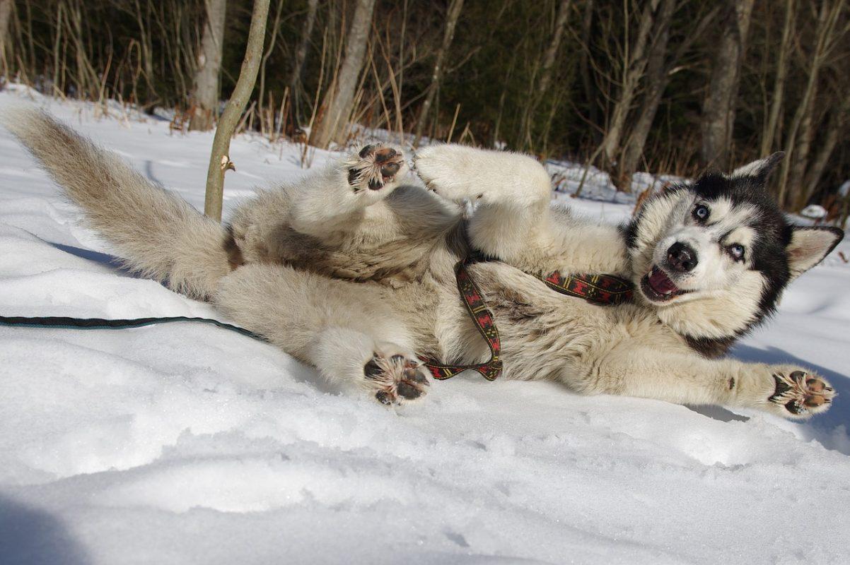 Husky Sibérien avec harnais xback Manmat - chien neige drôle