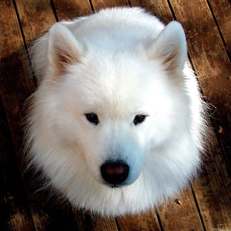 Race de chien: Samoyède chien nordique