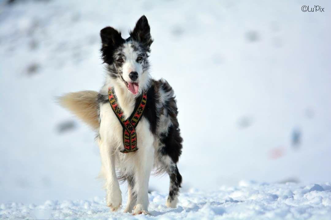 Harnais pour chien Manmat - crédit photo: Lucie Roudouleusse
