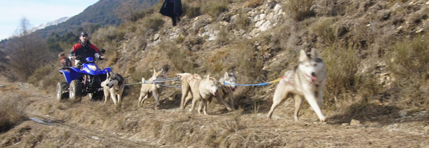 Attelage chiens en quad