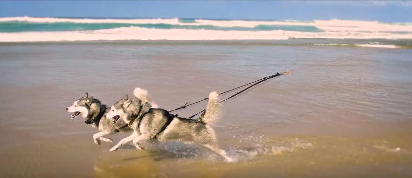 husky siberien en pleine course bord de l'océan