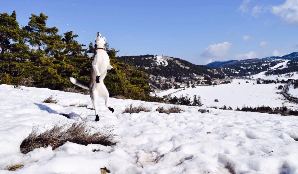 chien neige BNd CEd