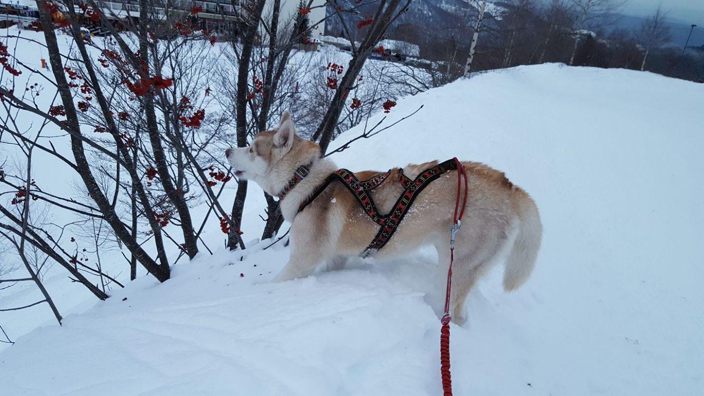 Canirando dans la neige Delphine Vidal