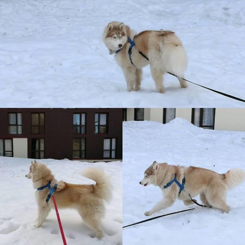 Canirando dans la neige Malice Pirani