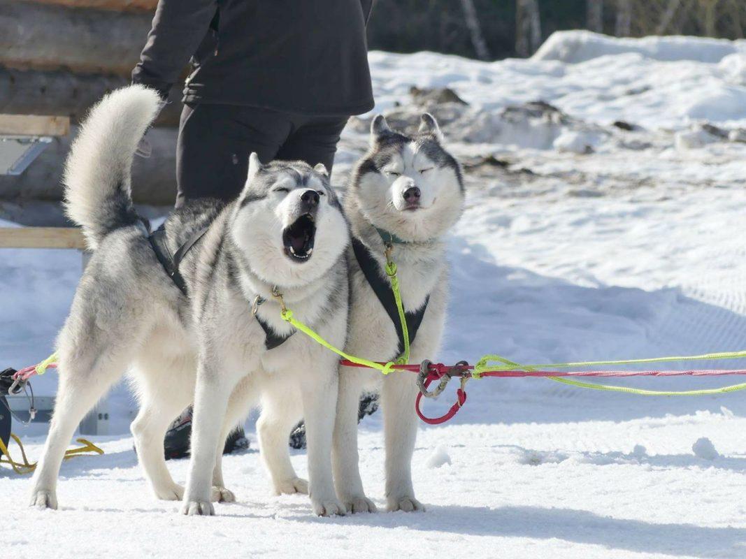 chien neige traineau à chien au départ husky hurle - Sylvain Stanesco