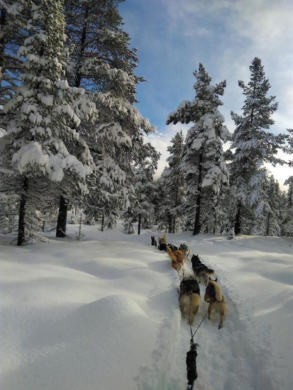 chien neige traineau à chien en Norvège au milieu de la poudreuse - Olivia Mil