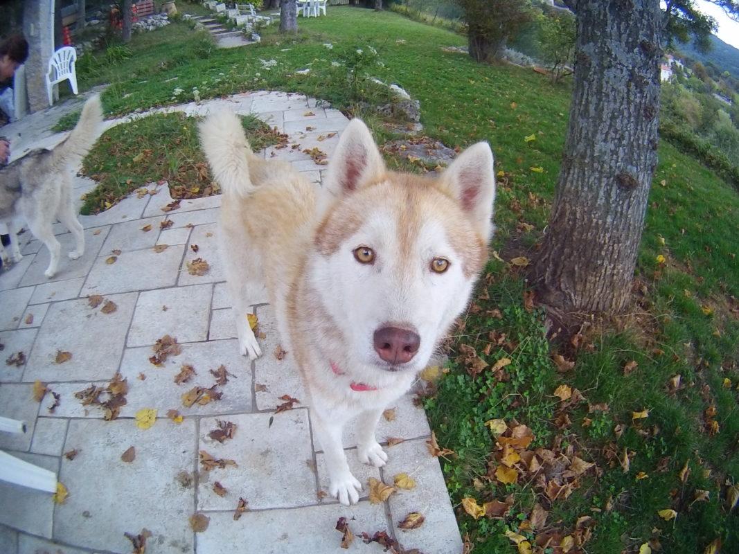 Grimm, husky sibérien aux yeux jaunes fauves