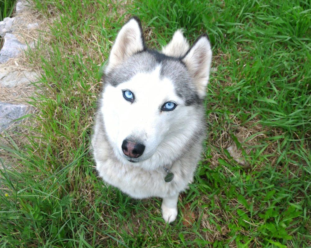 Le husky sibérien a toujours les yeux bleus: FAUX!