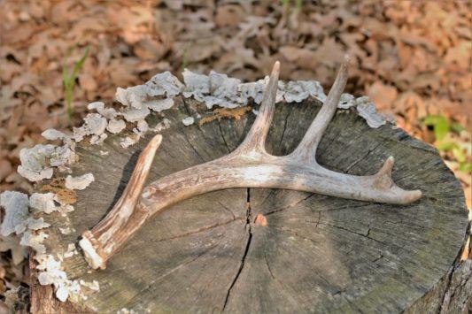bois de cerf pour chien à ronger à macher naturel