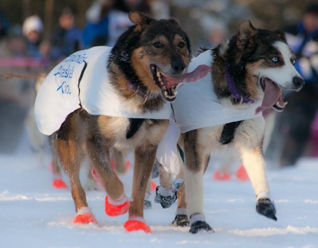 Bottine pour chien et protection des coussinets