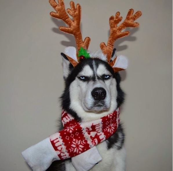 chien-husky-noel