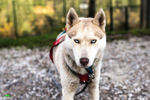 husky siberien aux yeux bleus