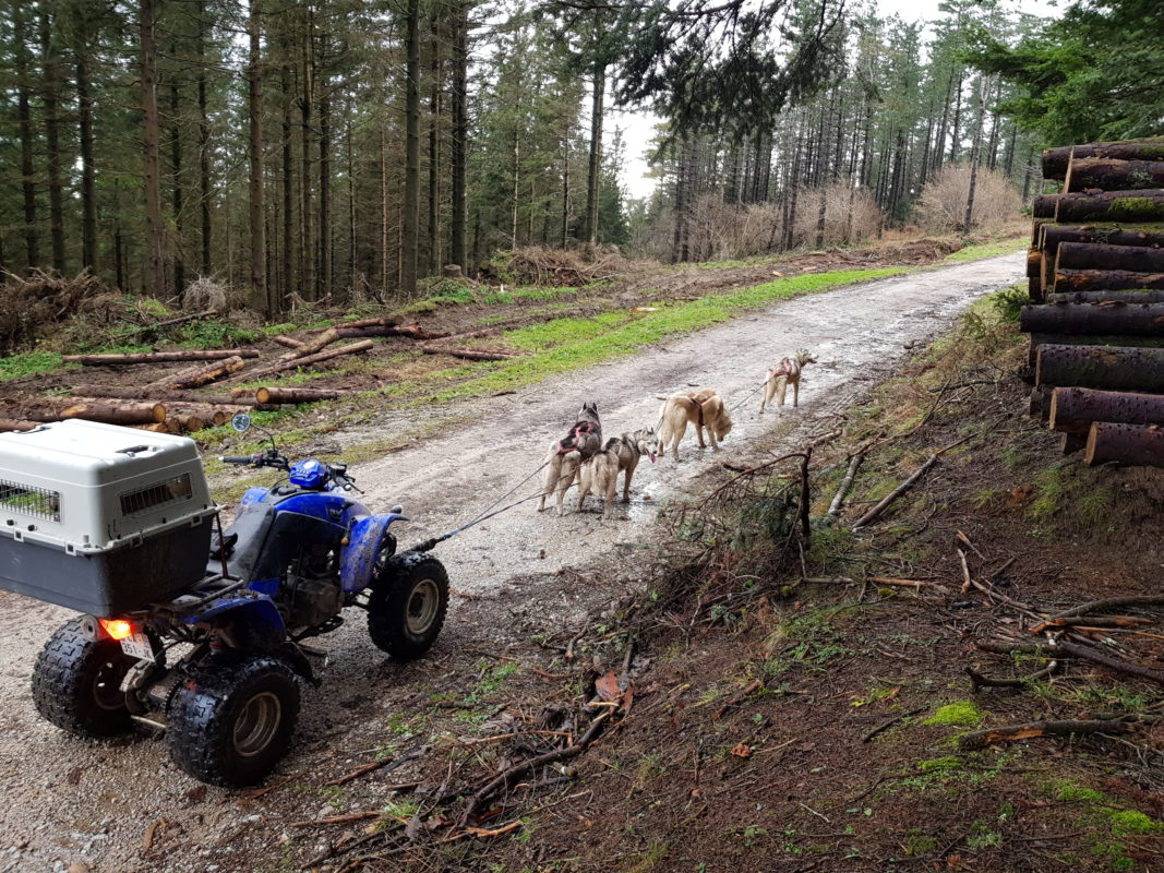 attelage canin chien de traineau husky quad